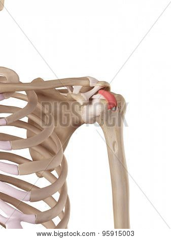 medical accurate illustration of the transverse humeral ligament