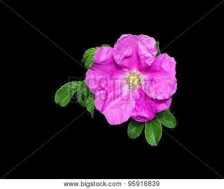 Pink Rock Rose Closeup