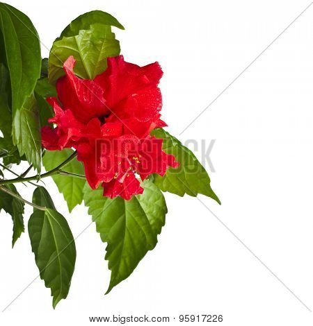 Hibiscus Rosa-sinensis flower with water droplets isolated on white background