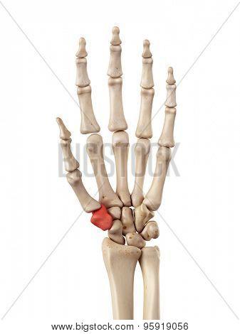 medical accurate illustration of the trapezium bone