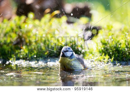 Eurasian blue tit in water