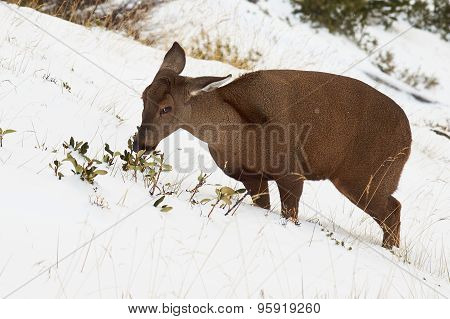 South Andean Deer