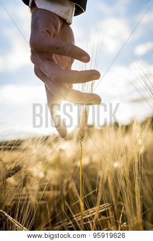 Businessman Or Environmentalist Reaching Down With His Hand Gently Touching An Ear Of Ripe Golden Wh
