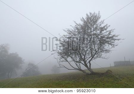 Crooked apple trees in the garden of the mountain village. Foggy weather in the fall. It's a nasty day. Carpathians, Ukraine