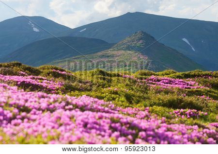 Sunny day in the mountains. Blooming pink rhododendron. Glade with flowers. Shallow depth of field. Carpathian Mountains. Ukraine