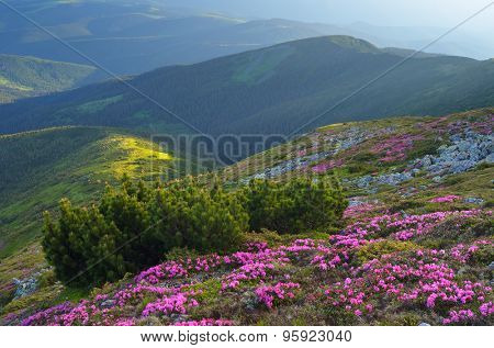 Summer landscape with flowers in the mountains. Bush mountain pine on the slopes. Carpathians, Ukraine. Europe