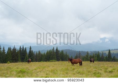 Three brown horses in the pasture. Cloudy day in the mountain. Carpathian Mountains, Ukraine