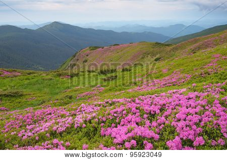 Overcast morning in early summer. Flowers pink rhododendrons on the mountain slopes. Carpathian Mountains, Ukraine