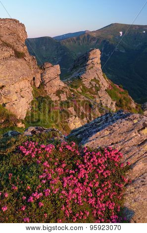 Pink flowers on the cliff. Summer landscape in the mountains. Morning sunlight. Blooming rhododendron bushes. Carpathians, Ukraine. Vertical layout