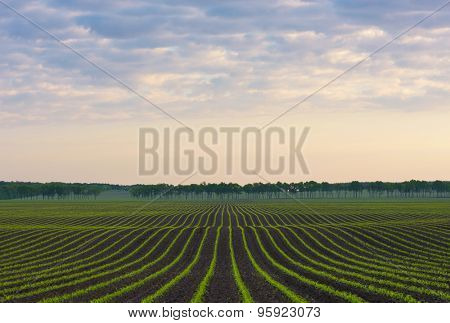 Morning landscape. Cornfield. Natural line