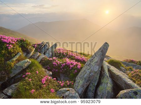 Summer flowers in the mountains. Morning landscape with rising sun and fog. Blooming pink rhododendron. Carpathian Mountains, Ukraine