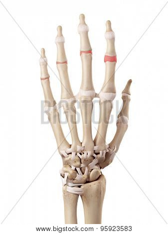 medical accurate illustration of the medial joint capsules