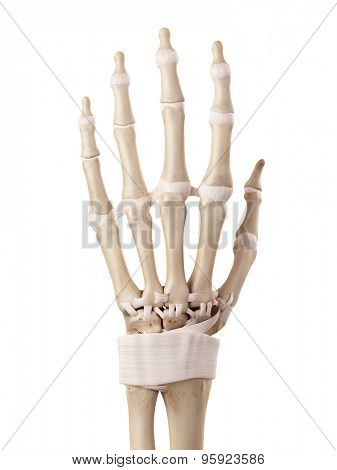 medical accurate illustration of the hand ligaments