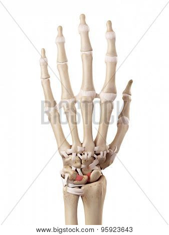 medical accurate illustration of the interosseous intercarpal ligaments