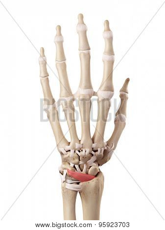 medical accurate illustration of the dorsal radiocarpal ligaments