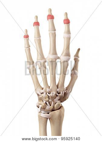 medical accurate illustration of the distal joint capsules