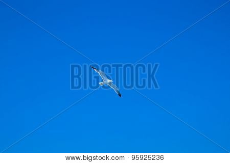 The seagull flies against the blue sky