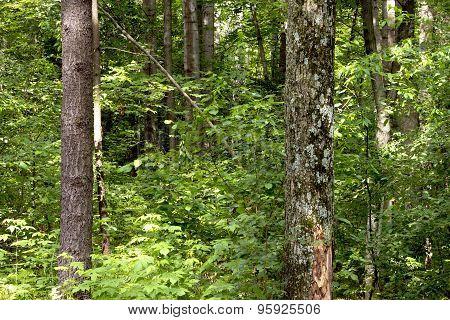 Dense Forest Background