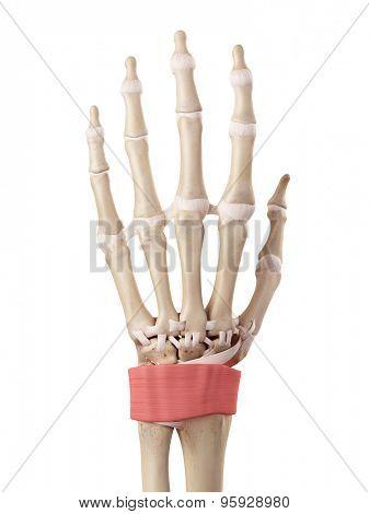 medical accurate illustration of the retinaculum ligament