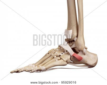 medical accurate illustration of the inferior peroneal retinaculum