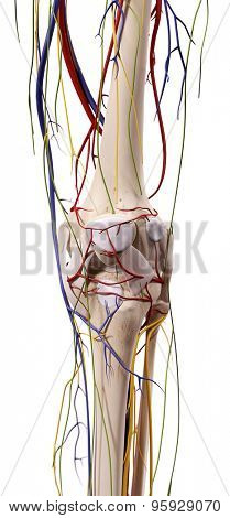 medical accurate illustration of the knee anatomy