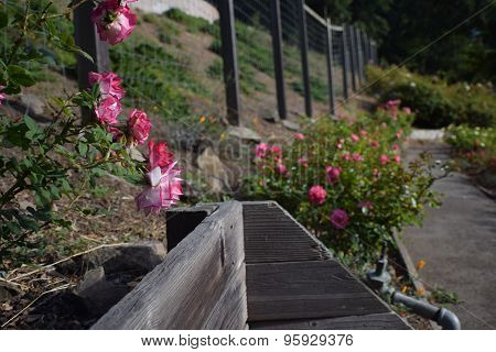 Bench in Rose Garden