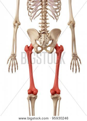 medical accurate illustration of the femur bone