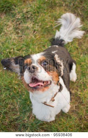 Funny Cavalier King Charles Dog Portrait