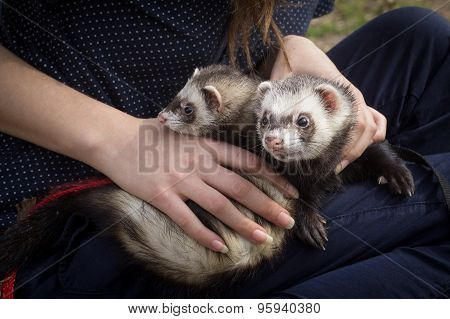 Pair of the Ferrets