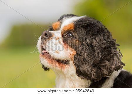 Cavalier King Charles Dog Portrait