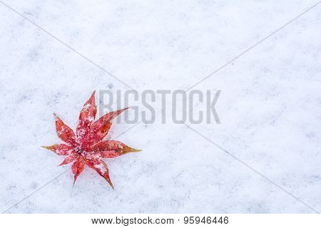 Leaf on a snow