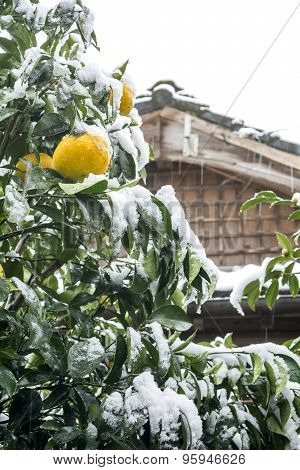 Citrus with snowfall