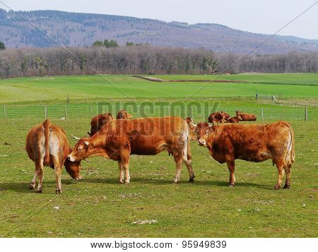 Curious cattle at a farm in spring
