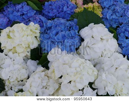 Blue and white hortensia flowers