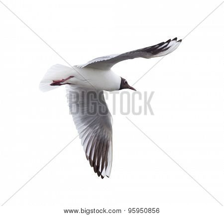 photo of black-headed gull isolated on white background