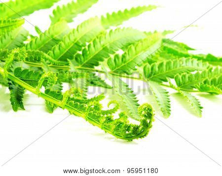 green fern branches isolated on white background