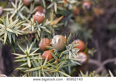 Cone of juniperus  oxycedrus macrocarpa