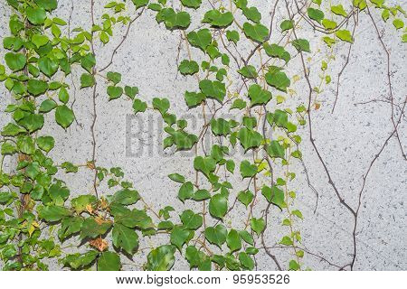 ivy leaves on wall background for wallpaper