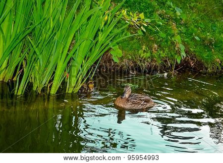 Mother Duck With Ducklings Swimming On Lake Surface