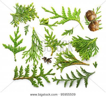 Thuja branch close up isolated on white background