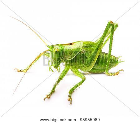 Cute macro green grasshopper isolated on white background