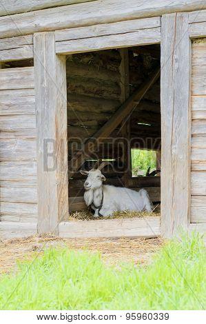 Goat Lying In A Wooden Sty