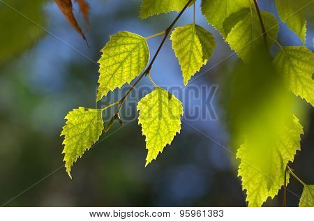 Leaf of birch. Nature composition.