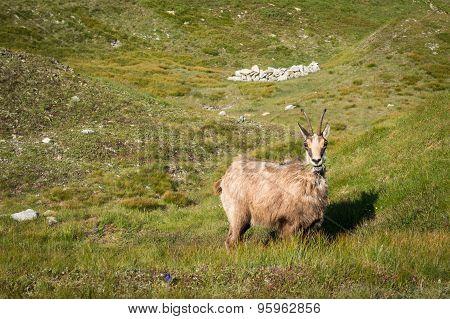 Wild Chamois On The Mountain Meadow