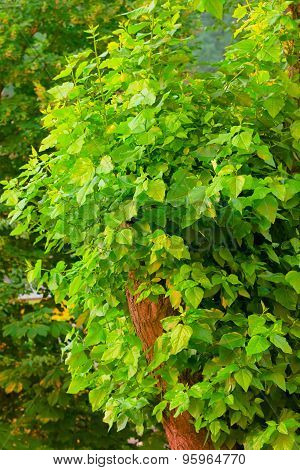 Lush Summer Foliage Green Poplar