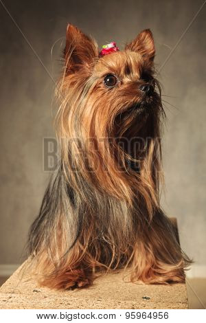 adorable yorkshire terrier puppy dog sitting on a wooden box in studio and looks up to something