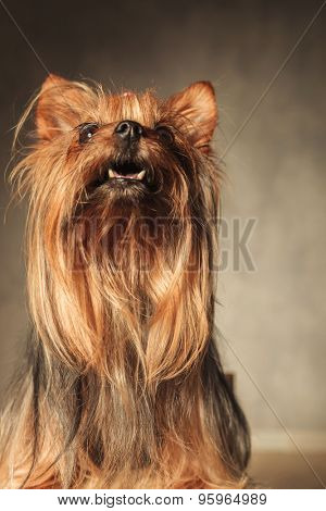 curious little yorkshire terrier puppy dog looking at something up with mouth open in studio