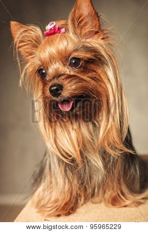 side view of an adorable happy yorkshire terrier puppy dog panting with mouth open on grey studio background