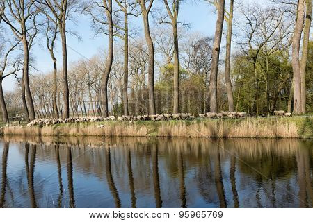Sheepdogs herding a flock of sheep near the canal of Damme in rural Flanders in Belgium