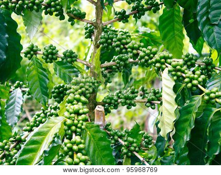 Arabica Coffee Trees